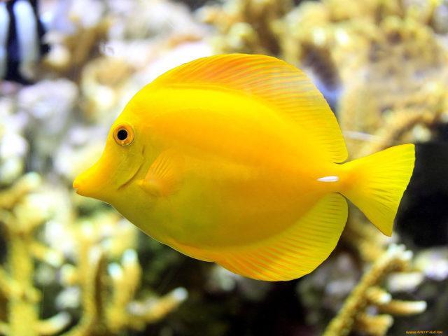 Желтая зебрасома