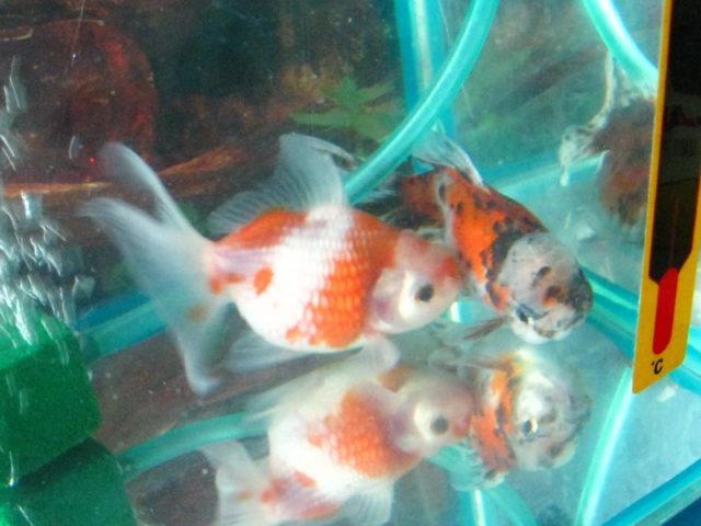 Нерестовик для золотых рыбок