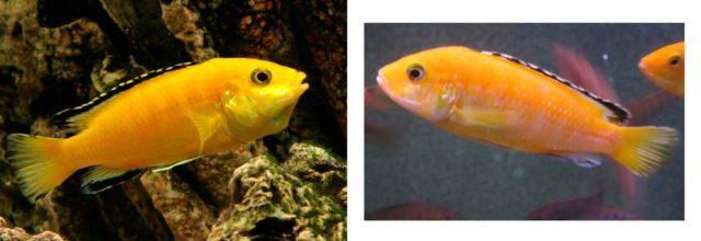 Сравнение больной и беременной рыбок колибри