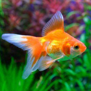 Золотая рыбка веерохвост