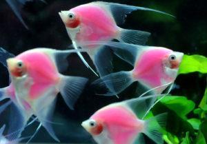 Скалярия Glofish