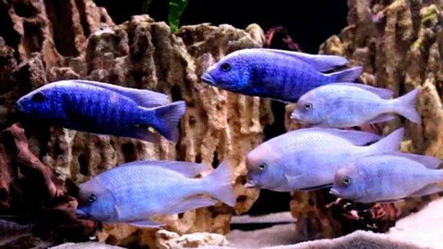 Стая голубых дельфинов в аквариуме