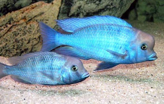 Пара цихлид голубой дельфин