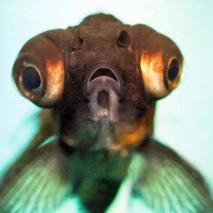 Рыбка телескоп крупным планом