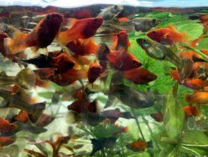 Рыбкам не хватает кислорода