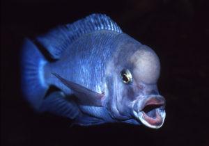Самец цихлиды голубой дельфин