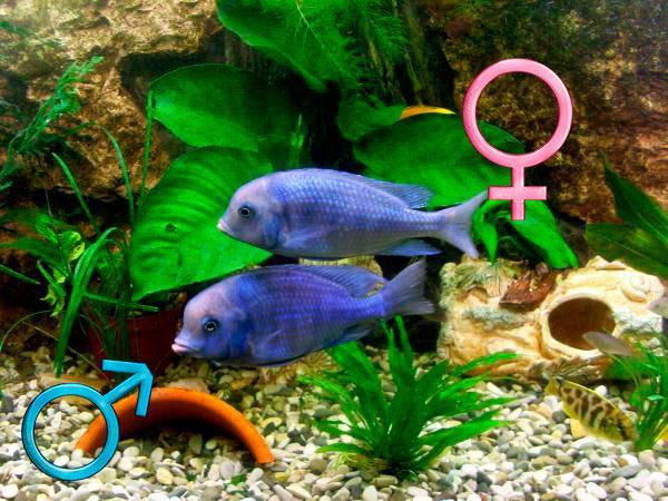 Самка и самец голубого дельфина