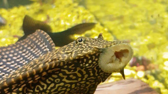 Парчевый сом поедает водоросли со стенок
