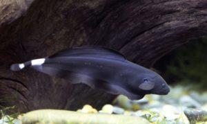 Рыба нож черный