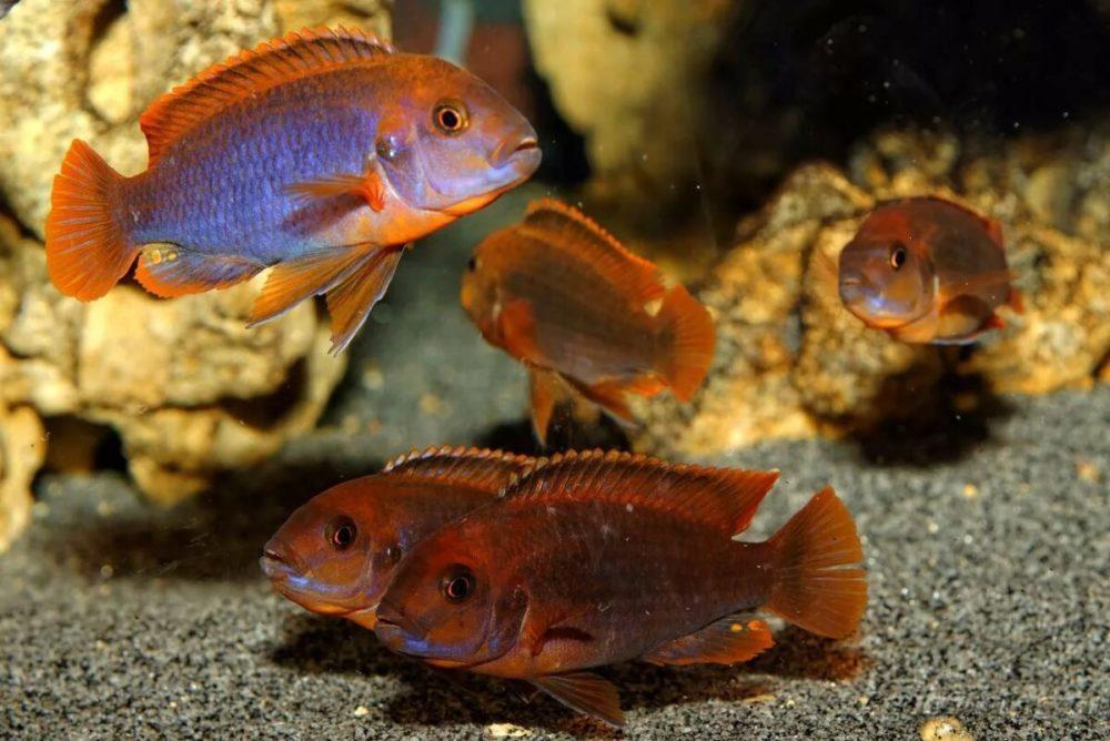 красные цихлиды виды описание и фото первого