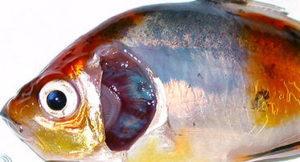 Отравление хлором аквариумной рыбки