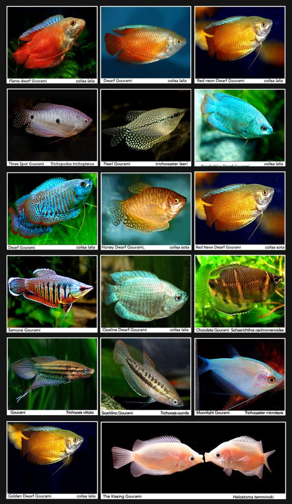 классификация рыб аквариумных с фото помощью него