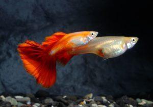 Самец и самка гуппи красный блондин