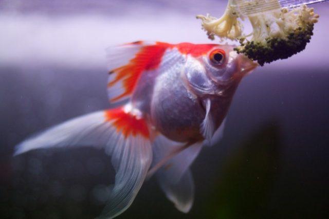 Золотая рыбка ест брокколи