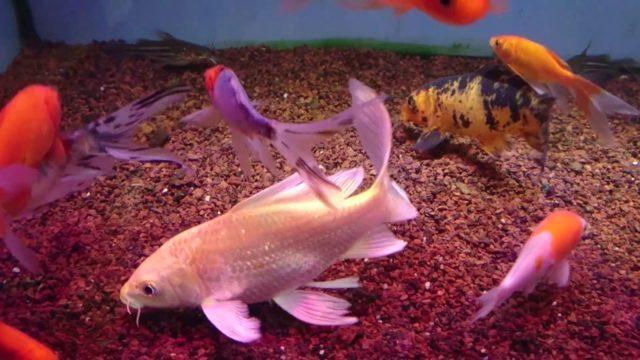 Карпы кои и золотые рыбки в одном аквариуме