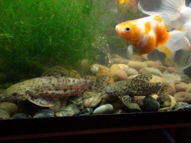 Сом и золотая рыбка