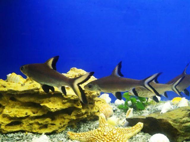Стая акульих балу
