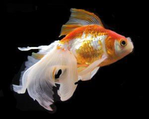 Золотая рыбка на черном фоне