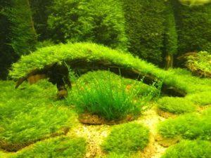 Аквариумный мох