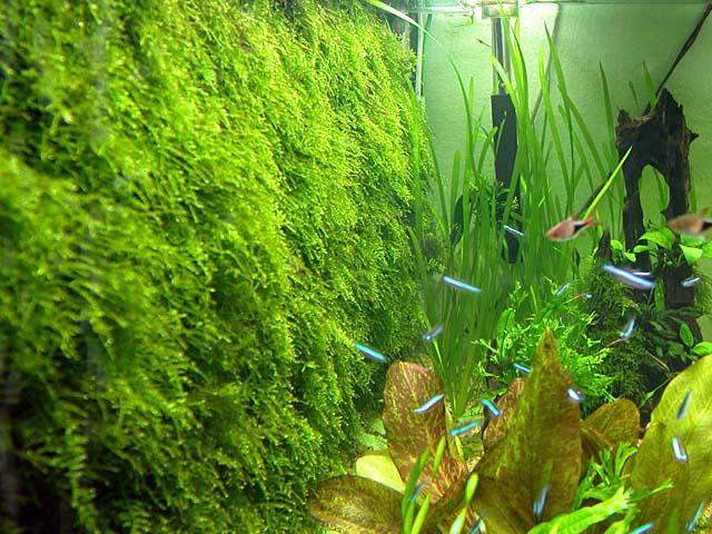 Задняя стенка аквариума из яванскиго мха
