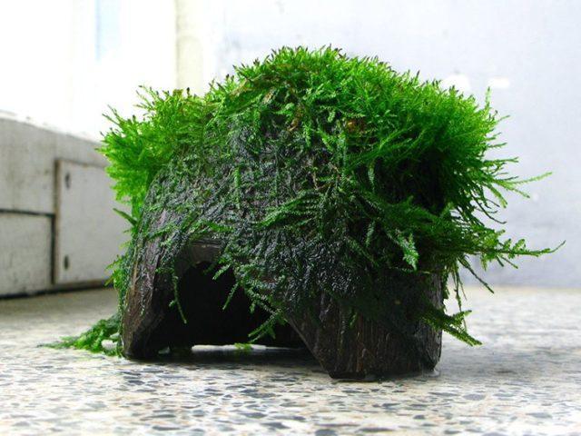 Яванский мох на кокосе