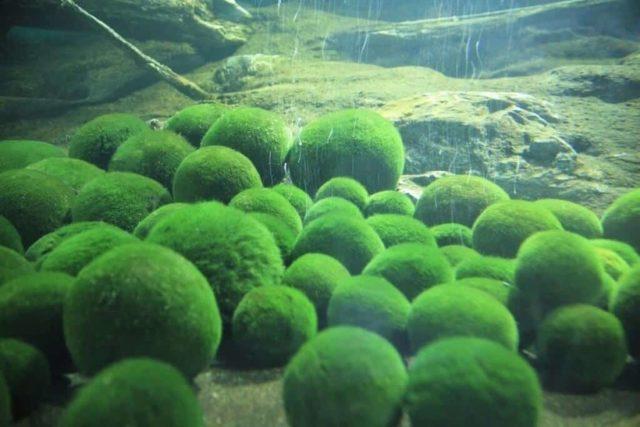 Кладофора шаровидная в природном водоеме