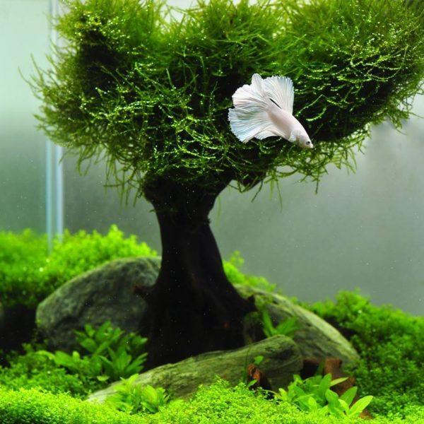 Яванский мох на коряге - дерево