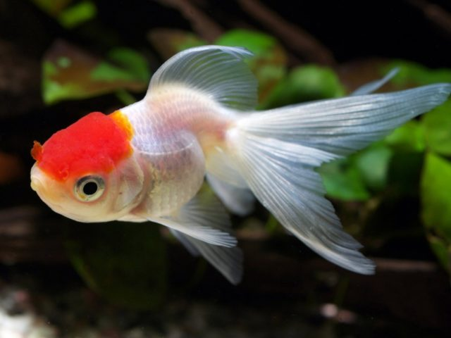 Оранда красная шапочка в аквариуме