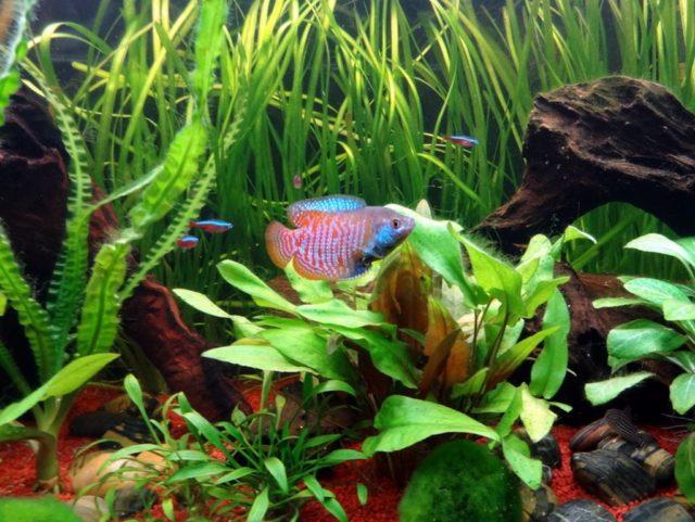 Лялиус соседствует с неонами в аквариуме
