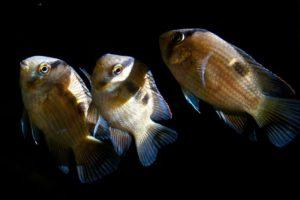 Акара марони 3 рыбки