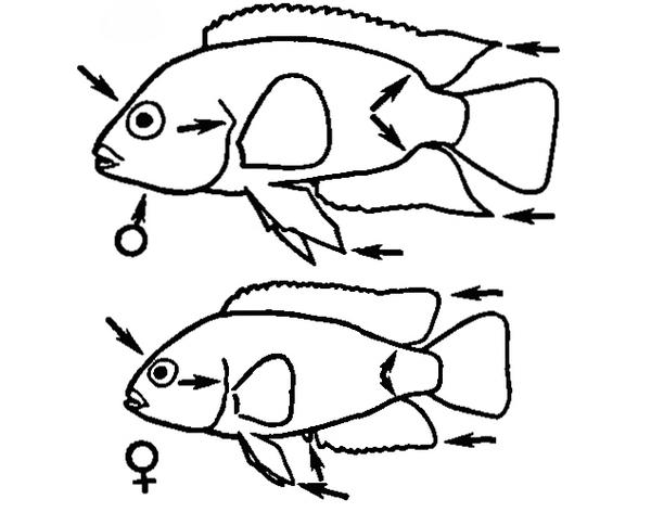 Половой диморфизм цихлид