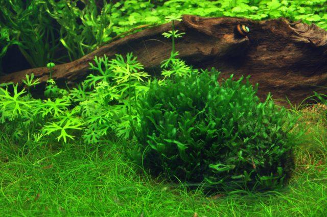 Печеночный мох в аквариуме