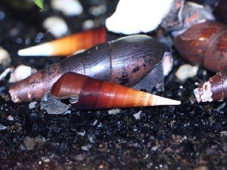 1429295870_faunus-lava-snail-1.jpg