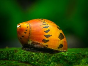 Неретина черепаховая