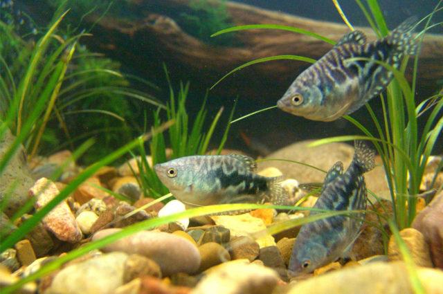 Мраморные гурами в аквариуме