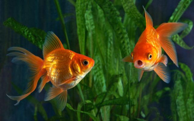 Золотые рыбки вуалехвосты в аквариуме